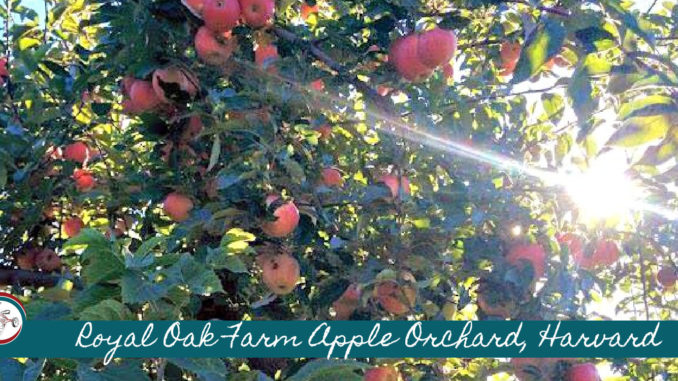 royal oak farm orchard, harvard